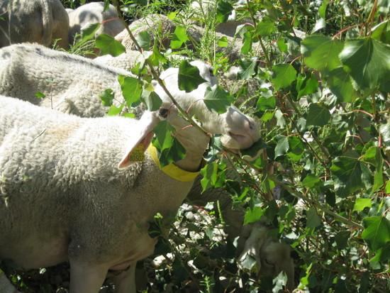 Arrivée du berger pour le pastoralisme